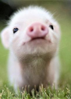 猪宝宝升职记